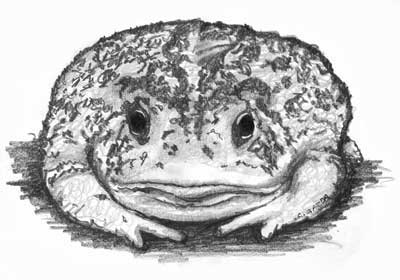 Toad Sketch